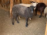 Coppia di pecore nane Ouessant