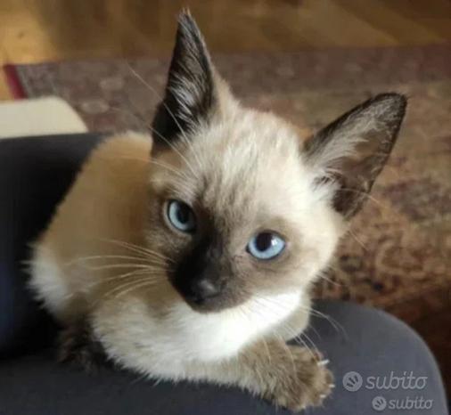 Cuccioli Siamese siberiano scottish pedigree