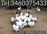 Galline galli razza Ermellinata