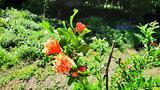 Albero melograno ornamentale a fiore rosso