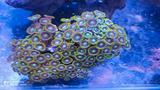 Talee coralli molli acquario marino