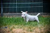 Cuccioli bull terrier miniature