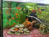 Platy - platy corallo