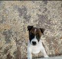 Cuccioli di Jack Russell