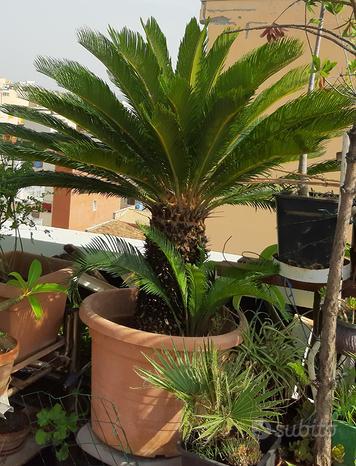 Cycas (pianta da giardino)