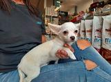 Chihuahua a pelo lungo maschio