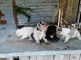 Cuccioli cane pastore australiano