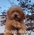 Barboncino toy nano albicocca rosso PEDIGREE ENCI