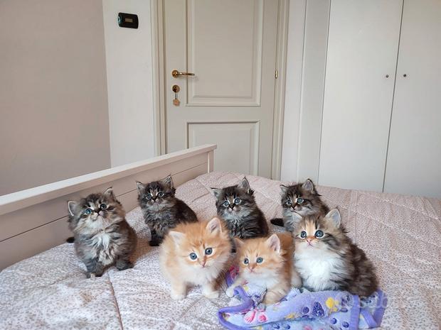 Cuccioli di gatto puro siberiano IPOALLERGENICO