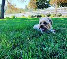 Cuccioli di YORKSHIRE/JACK RUSSEL