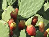 Ficus d india
