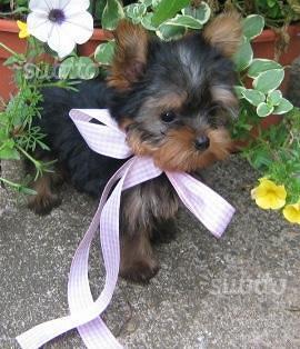 Yorkshire maschietto cucciolo