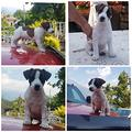 Cucciole jack russell terrier