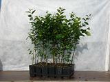 Carpinus Betulus - Carpino bianco