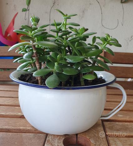 Crassula Ovata (albero di giada) in vaso da notte