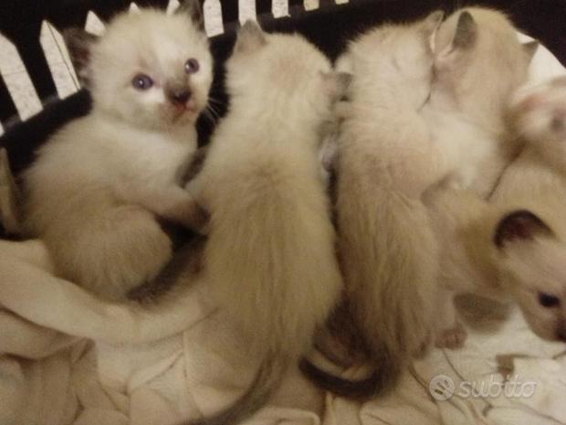 Gatti siamesi thai cuccioli pedigree