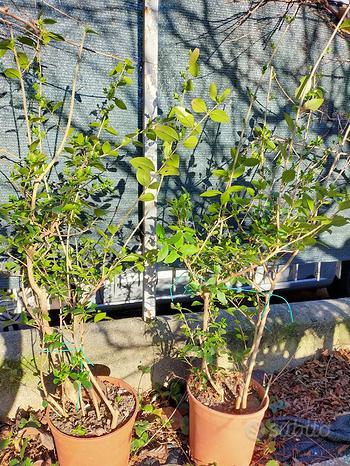 Ligustro Japonico piante ornamentali e siepe