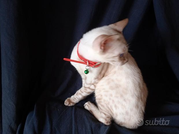 Gattino bengala snow
