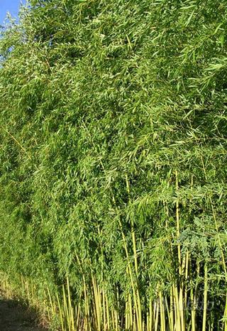 Piante di bambù viridiglaucescens
