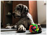 Alano cuccioli - femmina Merle