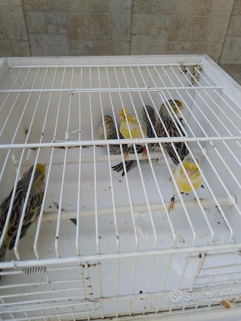 Canarini Agata a fattore giallo