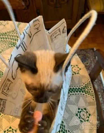 Cuccioli siamese allevamento siberiano scottish