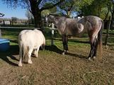 Purosangue e pony