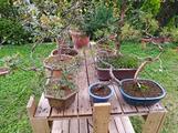 Pre bonsai, attrezzi e vasi