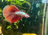 Pesce Betta splendens