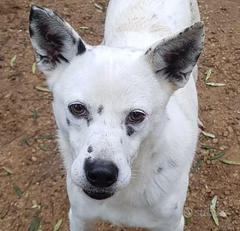 Tango, una delizia di cagnolino Cane volpinetto ta