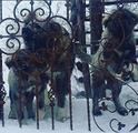 Pastore del Caucaso cuccioli
