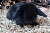 Conigli nano ariete puri