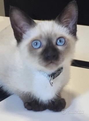 Gattino siamese pedigree