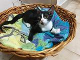 Oscar, gattino bianco e nero di 3 mesi e mezzo