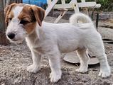 Jack russell terrier broken