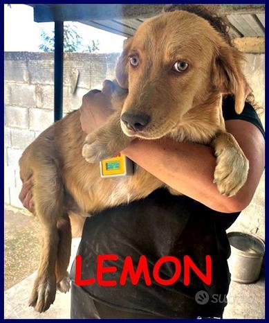 LEMON cucciolotto simil labrador retriver 6 mesi l