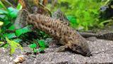 Hoplosternum thoracata pesce pulitore gatto