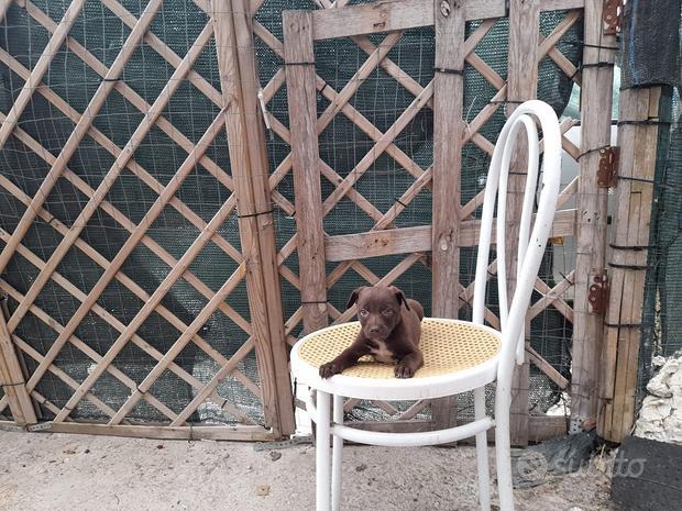 Cucciolo pincher chihuahua