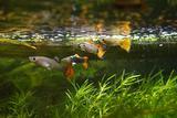 N. 10 pesci guppy poecilia reticulata