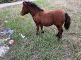 Pony maschio