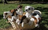 Femminucce jack russell