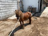 Pony maschio incrocio Welsh