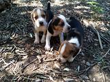 Splendidi cuccioli beagle