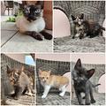Adozione per siamese e i cuccioli, separatamente