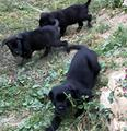Cuccioli cane corso puri