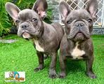 Bouledogue-bulldog francese da 70 euro al mese