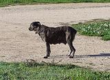 Dogo sardo