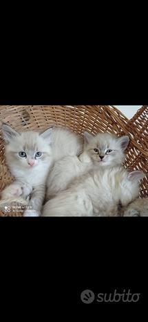 Cuccioli razza siberiana