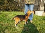 Cane da caccia Beagle