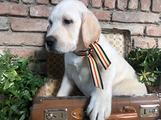 Labrador retriver con pedegree